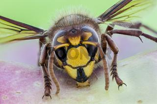 Hornisse, Vespa crabro, European Hornet - Detailed Macro Stack