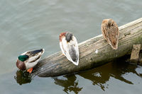 Enten auf einem Baumstamm im Fluss Moldau