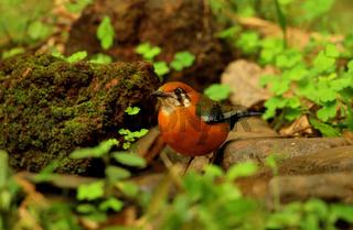 Orange headed ground thrush, male, Geokichla citrina, Ganeshgudi, Karnataka, India.