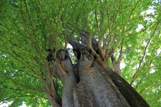 Botanischer Garten Madrid, Kaukasische Zelkove, Zelkova carpinifolia