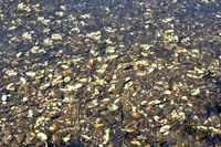 Kleine Flussmuschel oder Bachmuschel (Unio crassus),Schwalm-Nette Naturpark,Rheinland,Deutschland