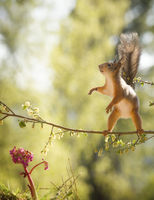 red squirrel on branch with a Bergenia beneath