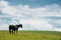 A horse on a green pasture with yellow flowers against a blue sky with clouds. Black horse