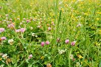 Klee und Wildblumen auf Wiese im Sommer