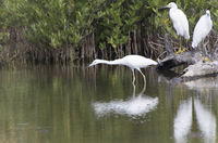white morph little blue heron that hunts in shallow water in mangroves