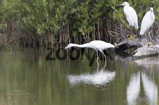 white morph little blue heron that hunts in shallow water in mangroves