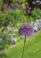 Zierlauch (Allium sp.) vor Blumenbeet