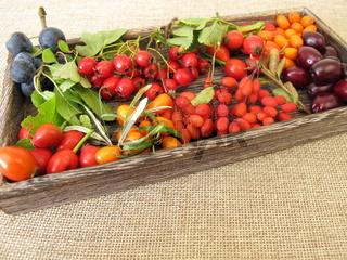 Wildfrüchte in einer Holzkiste mit Schlehen, Kornelkirschen, Sanddorn, Hagebutten, Berberitze ...