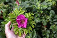 Flower of dogrose growing in nature in female hand holds a branch of a dogrose