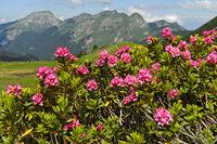Rostblättrige Alpenrose (Rhododendron ferrugineum), Hochsavoyen, Frankreich
