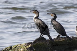 Two great  cormorants sitting on rocks on Lake Victoria