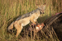 Black-backed jackal stands with carcase in grass