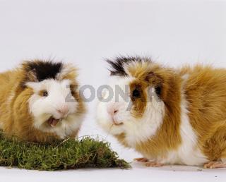 Meerschweinchen, Guinea Pig, cavidae, cavia porcellus, hausmeerschweinchen, cavy, cobayo, cobaye, cobaya, conejillo