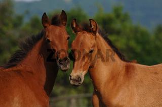 Pura Raza Espagnola Pferde (PRE), zwei Fohlen, Spanien