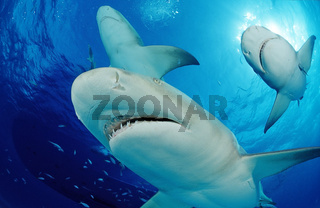 Lemon Sharks, Negaprion brevirostris, Bahamas, Grand Bahama Island, Atlantic Ocean