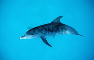 Atlantic spotted dolphin, Stenella frontalis, USA, Florida, Atlantic Ocean