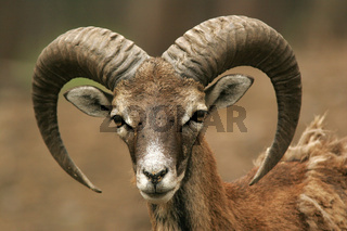 Mufflon Wildschaf,  Wild Sheep, Ovis musimon
