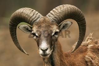 Mufflon Wildschaf,  Wild Sheep, Ovis musimon