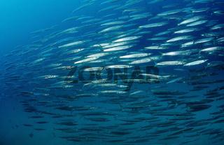 Schwarm Barrakudas, Sphyraena barracuda, Mexiko, Cortezsee, Niederkalifornien, La Paz