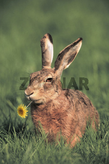 Brown Hare / European Hare / Europaeischer Feldhase