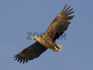 White-tailed Sea Eagle, Haliaeetus albicilla, Seeadler, Norway, Norwegen, Europa, Europe