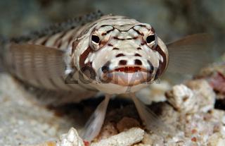 Augenstreifen-Sandbarsch, Parapercis tetracantha, Blackbarred sandperch,  Bali,