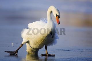 Hoeckerschwan, Mute Swan, cygnus olor, europe, europa