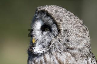 Bartkauz, strix nebulosa, European Grey Owl