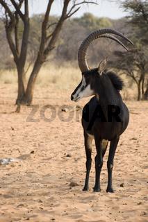 Male sable antelope