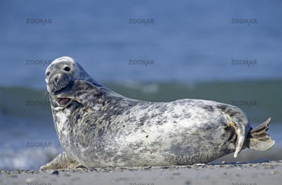 Kegelrobbe / Grey Seal / Halichoerus grypus