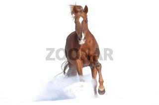 Russisches Vollblutpferd im Schnee