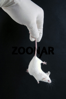 Laboratory Mouse   Labormaus