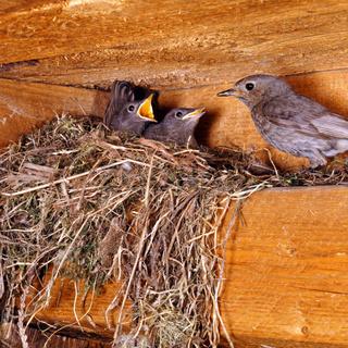 Hausrotschwanz am Nest