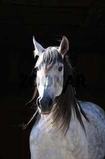 Pura Raza Espagnola Pferd (PRE), Hengst, Spanien