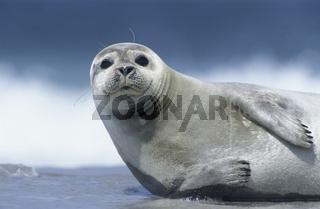 Seehund / Common Harbour Seal / Phoca vitulina