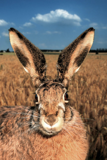 European Hare / Brown Hare / Feldhase