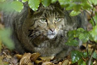 Wildkatze / European Wildcat / Felis silvestris