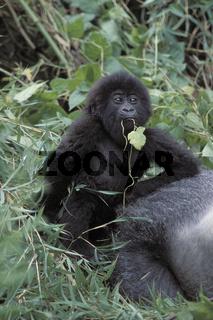 Gorilla, Mountain gorilla,