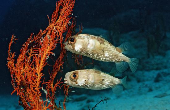 Zwei Langstachel-Igelfische, Diodon holocanthus , Mexiko, Cortezsee, Niederkalifornien, Two Balloonfishes,
