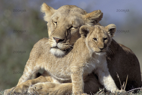 Lion, Löwe