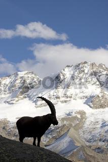 Alpensteinbock, Oesterreich, Alpine Ibex