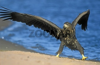 Europaeischer Seeadler, Haliaeetus albicilla, White-tailed Eagle, Europe, Europa