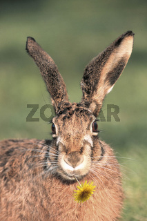 European Hare / Brown Hare / Europaeischer Feldhase