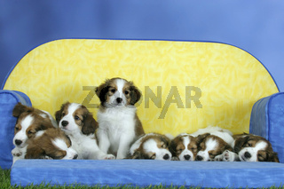 Small Dutch Waterfowl Dog / Kooikerhondje