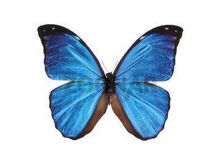 Schmetterling / Isolated blue butterfly