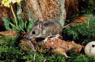 Waldmaus / Alpine wood mouse / Apodemus Alpicola