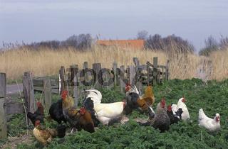 Viele Hennen und Hähne in grüner Vegetation vor Holzzaun und hellem Schilf im Hintergrund