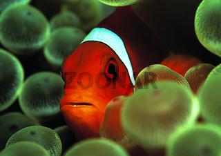 Stachel-Anemonenfisch