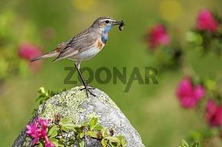 Blaukehlchen, Luscinia svecica, Bluethroat, passerine birds, europe, europa