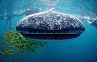 Walhai, Rhincodon thypus, Whale shark, Hawai